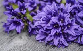 Картинка цветы, фон, букет, фиолетовые, доска, колокольчики
