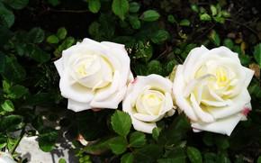 Картинка Розы, Roses, White roses, Белые розы