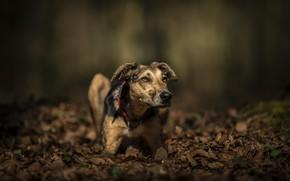 Картинка осень, листья, фон, собака