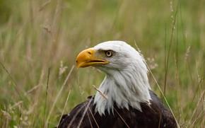 Картинка трава, птица, клюв, белоголовый орлан