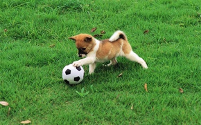 Картинка wallpaper, sport, dog, football, ball