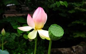 Картинка Flowers, Лотос, Lotos
