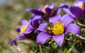 Обои весна, пчела, анемон, макро