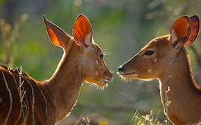 Картинка Африка, ЮАР, самка, антилопа, Kruger National Park, ньяла