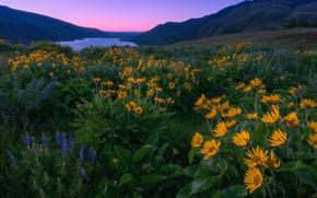 Картинка цветы, горы, река, рассвет, утро, луг, Орегон, Oregon, Columbia River, люпины, Columbia River Gorge, река …