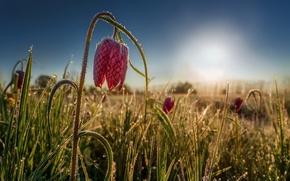 Картинка цветок, свет, утро, Рябчик шахматный