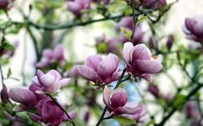 Картинка цветы, розовая, магнолия