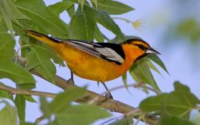 Картинка листья, птица, ветка, клюв, хвост, цветной трупиал Баллока