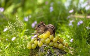 Картинка трава, виноград, бурундук