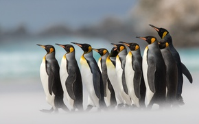 Обои пингвины, Королевский пингвин, птицы, боке