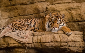 Картинка взгляд, тигр, дикая кошка, красавец