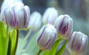 Картинка макро, тюльпаны, бутоны