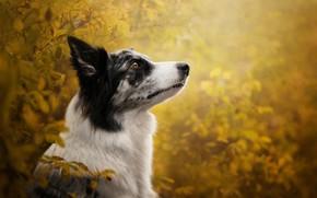 Картинка осень, ветки, боке, профиль, морда, Бордер-колли, собака, портрет