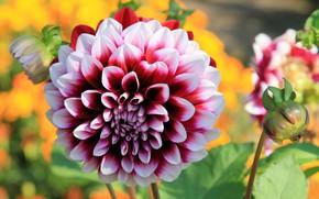 Картинка цветок, лето, природа, цветение, георгин