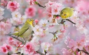 Картинка птицы, ветки, природа, весна, пара, цветки, боке, белоглазки