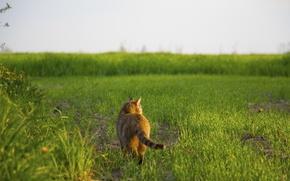 Картинка трава, кот, гуляет сам по себе