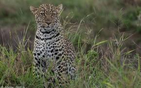Обои молодой, дикая кошка, морда, заросли, хищник, леопард