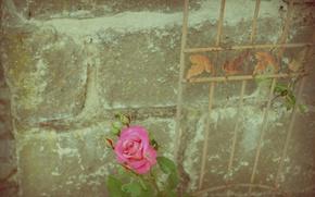 Картинка wall, rose, flower