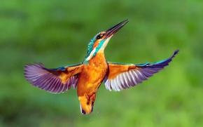 Картинка капли, птица, крылья, зимородок, kingfisher