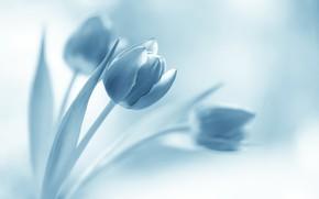 Картинка цветы, фон, тюльпаны