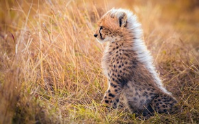 Обои трава, шерсть, грива, гепард, Африка, детеныш