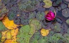 Картинка листья, пруд, кувшинки