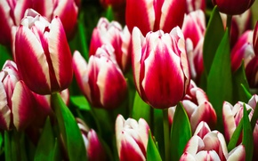 Картинка тюльпаны, бутоны, пестрый