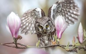 Обои бутоны, птица, размах, сова, крылья, магнолия, ветка, цветы