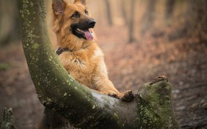 Картинка дерево, собака, боке, овчарка