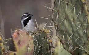 Картинка птица, кактус, пустынная овсянка