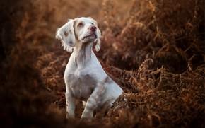 Картинка осень, собака, папоротник, пёсик, Кокер-спаниель