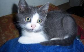 Картинка взгляд, серый, котёнок, дымчатый, Meduzanol ©