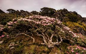Картинка небо, облака, пейзаж, цветы, природа, скала, пасмурно, ветви, куст, гора, холм, деревце, рододендроны