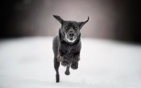Картинка боке, прогулка, бег, собака, снег