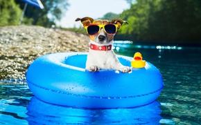 Картинка вода, круг, собака, очки, джек-рассел-терьер