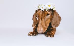Картинка морда, цветы, собака, белый фон, такса, венок