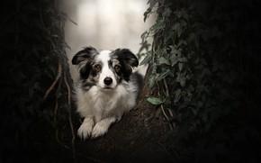 Картинка взгляд, дерево, портрет, собака, плющ, Бордер-колли