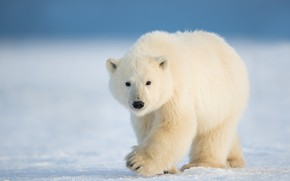 Картинка зима, снег, природа, белый медведь