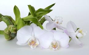 Картинка Цветок, Бамбук, Орхидея