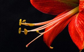 Картинка цветок, фон, лилия, лепестки, тычинки
