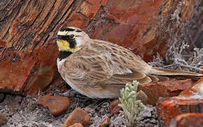 Картинка камни, птица, клюв, хвост, рогатый жаворонок