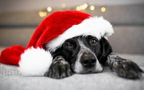 Картинка фон, новый год, собака, лежит, санта, фотосессия, боке, 2018, колпак санты, год собаки