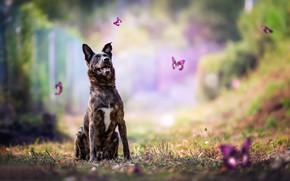 Картинка бабочки, собака, боке