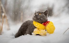 Обои кот, зима, шарф, снег, британец, животное