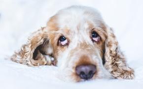 Картинка взгляд, морда, собака, нос, Кокер-спаниель