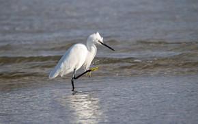 Картинка вода, птица, клюв, белая цапля