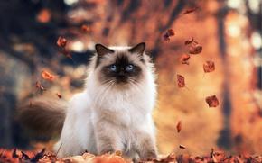 Обои листья, осень, Бирманская кошка, природа
