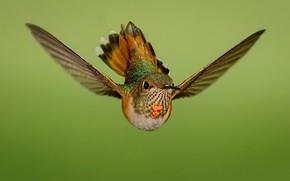 Картинка полет, птица, крылья, охристый колибри