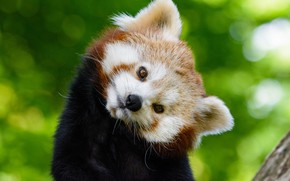 Картинка взгляд, мордочка, red panda, Малая панда