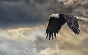 Обои крылья, мощь, полёт, белоголовый орлан, хищная птица